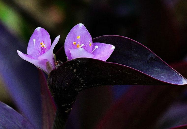 紫罗兰的一种