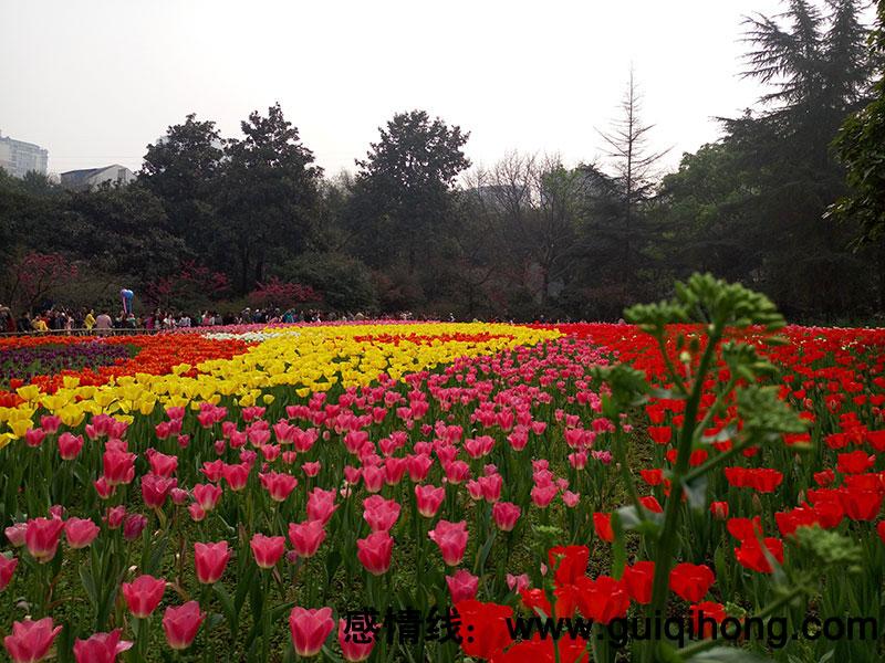重庆花卉园的郁金香