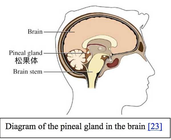 我们生下来就带的松果体被史玉柱称为脑白金体