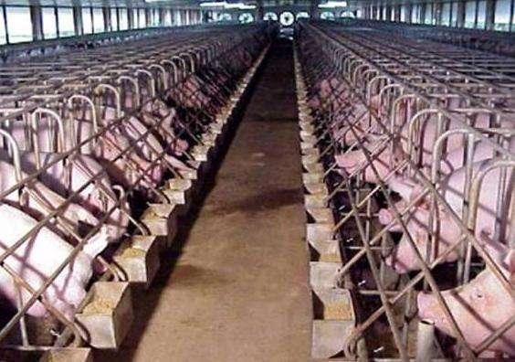 猪肉生产有望整合成规模更大的养猪场,从而更有能力确保生物安全