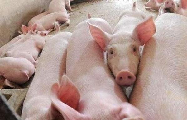 猪价易涨难迭