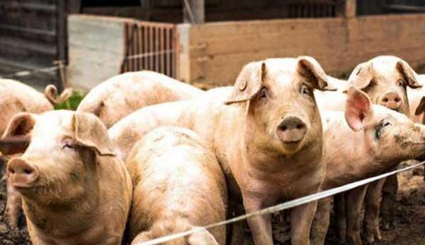 预计8、9月份的生猪价格理论上会处于14元到16元之间