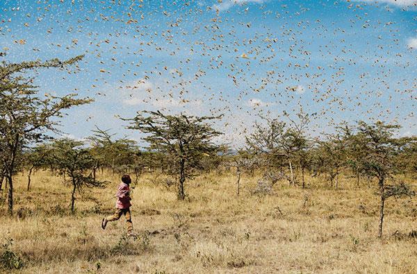 今年起蝗灾不断,东非肯尼亚也是重灾区之一。