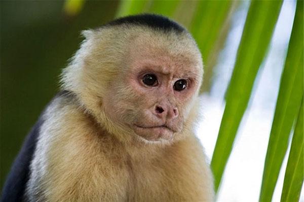 那么这种情况下,其实长出来的器官依然是猴子器官。