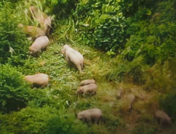 抵达玉溪市峨山县大维堵村辖区的亚洲象群