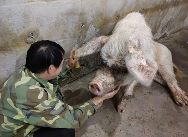 记者致电猪坚强原主人万兴明,他表示,听说猪坚强去世还是有一点不舍
