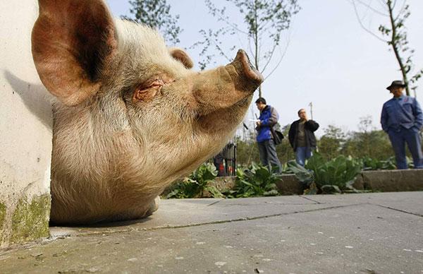 """""""猪坚强""""一共经历了三次完整的猪周期。"""
