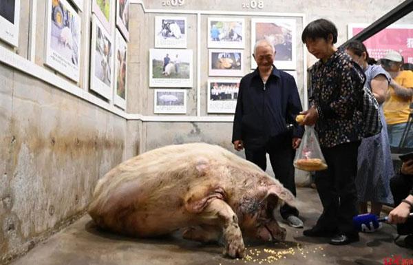 """据兽医说,猪坚强""""已在弥留,只在须臾""""。"""