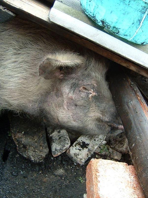 """因为它顽强的生命力,""""猪坚强""""的故事广为流传报道"""