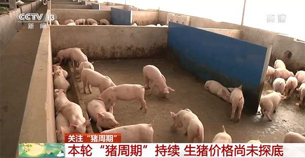 生猪产能已经完全恢复