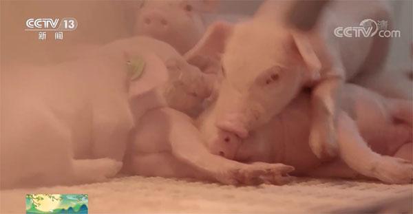 8月份全国平均每头出栏生猪亏损67元,养猪场户亏损面达到52.5%
