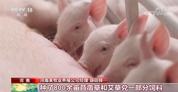 猪肉价格持续下跌 生猪养殖总体亏损