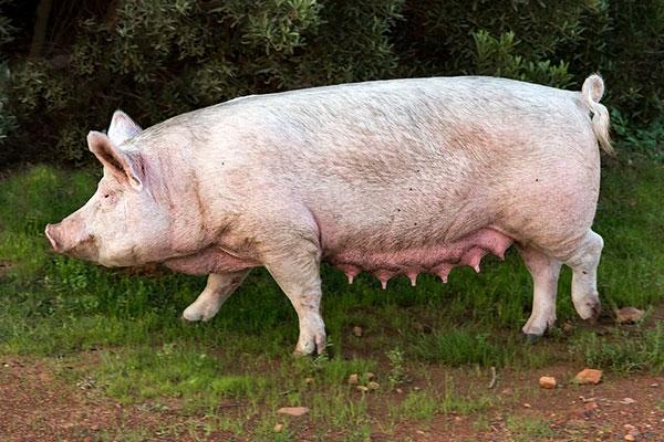 猪肉价格为何一降再降仍未探底